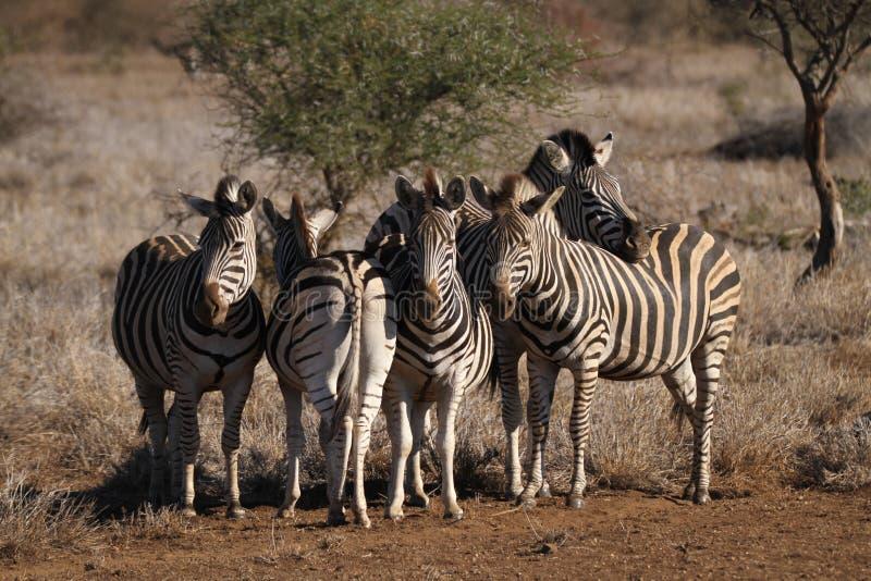 Zebras lizenzfreie stockbilder