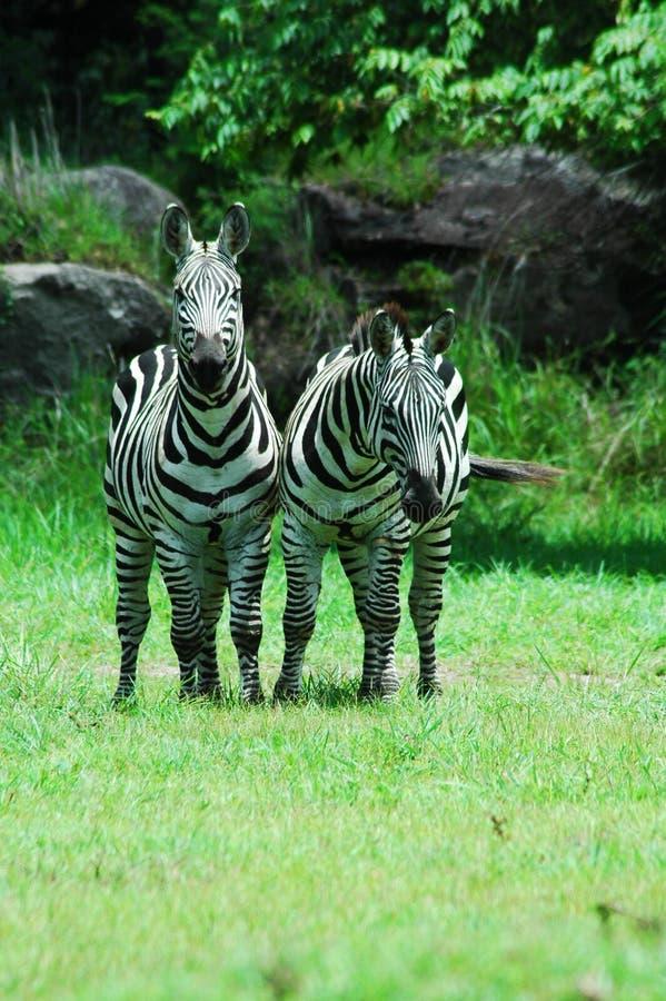 Zebras stock foto's