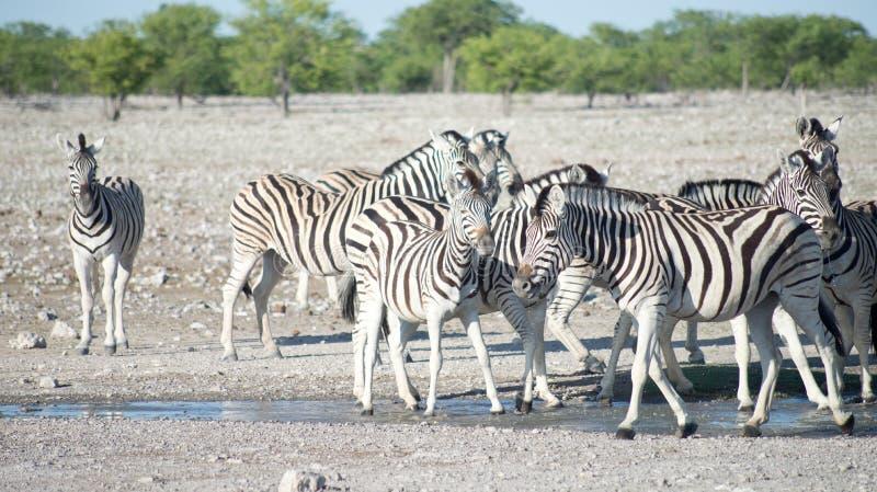 Zebras in Africa. Image of zebras in Africa stock photos