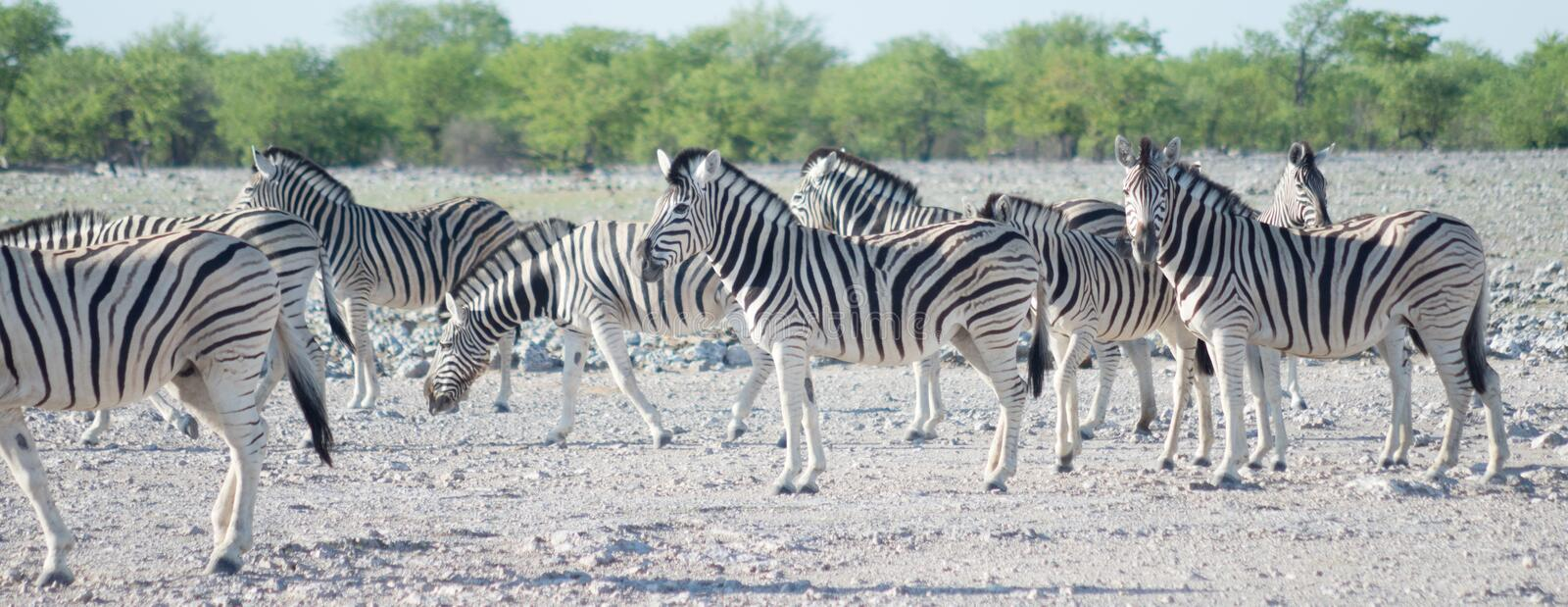 Zebras in Africa. Image of zebras in Africa royalty free stock photography