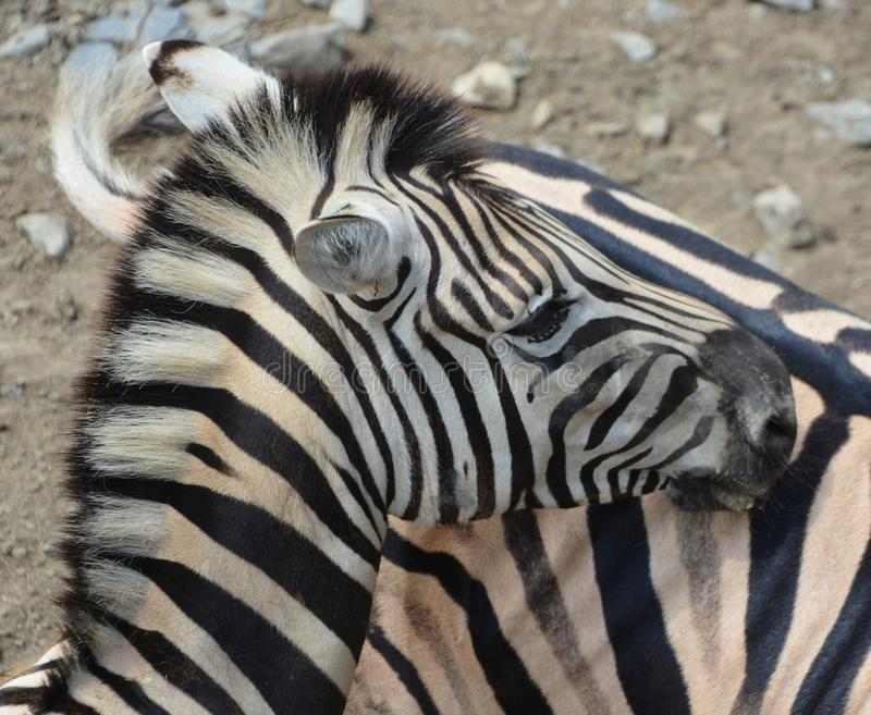 Zebras African equids. Zebras are several species of African equids horse family united by their distinctive black and white stripes stock photos