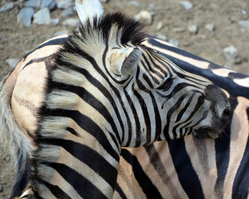 Zebras African equids. Zebras are several species of African equids horse family united by their distinctive black and white stripes stock photography