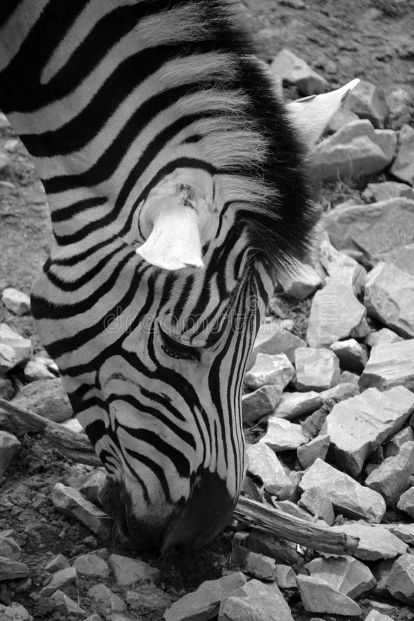 Zebras African equids. Zebras are several species of African equids horse family united by their distinctive black and white stripes stock image