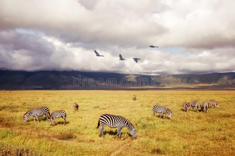 Zebras africanas em um fundo de nuvens bonitas no savana Cratera de Ngorongoro tanz?nia ?frica imagem de stock