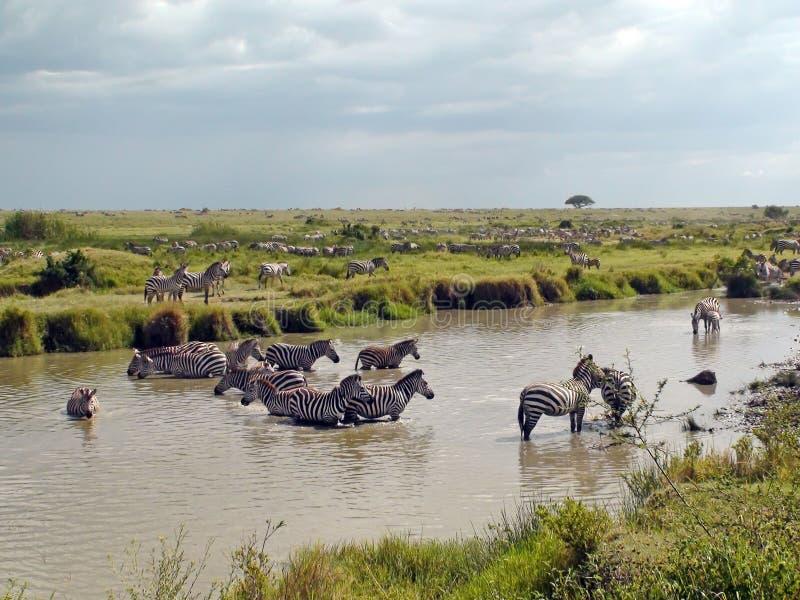 Zebras in Afrika royalty-vrije stock afbeeldingen