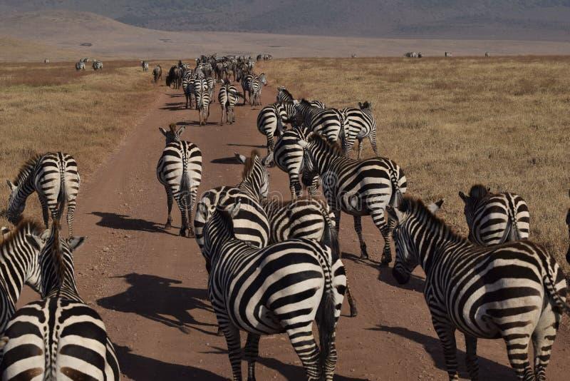 Zebras along the street in Ngorongoro Park, Tanzania stock images