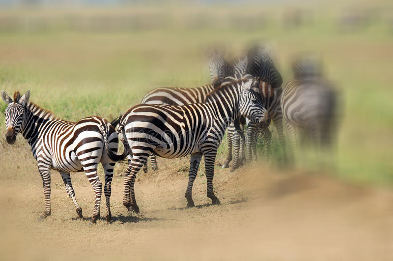 Zebras. At Amboseli National Park, formerly Maasai Amboseli Game Reserve, is in Kajiado District, Rift Valley Province in Kenya. The ecosystem that spreads stock photo