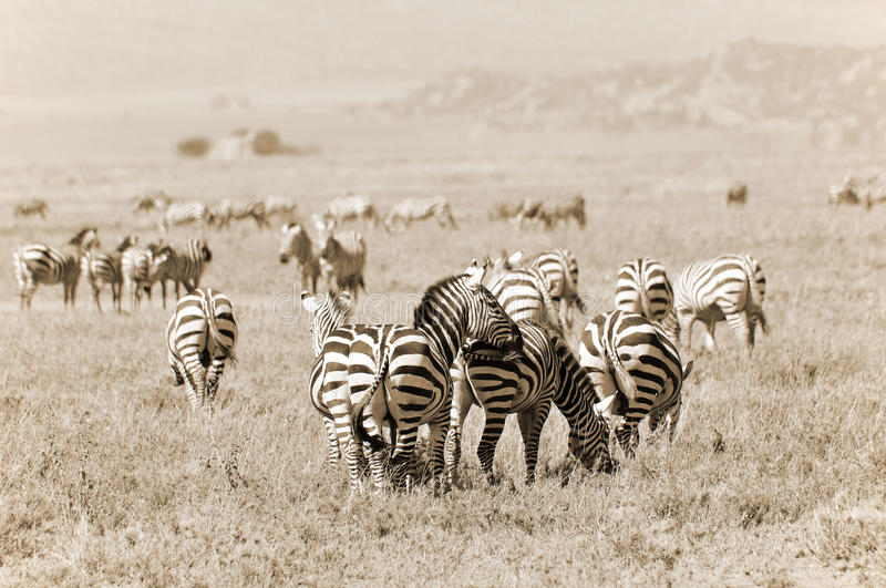 Zebras. At Amboseli National Park, formerly Maasai Amboseli Game Reserve, is in Kajiado District, Rift Valley Province in Kenya. The ecosystem that spreads royalty free stock photos