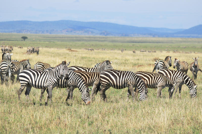 Zebras. At Amboseli National Park, formerly Maasai Amboseli Game Reserve, is in Kajiado District, Rift Valley Province in Kenya. The ecosystem that spreads royalty free stock images