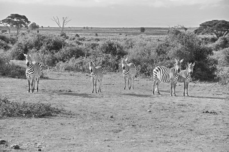 Zebras. At Amboseli National Park, formerly Maasai Amboseli Game Reserve, is in Kajiado District, Rift Valley Province in Kenya. The ecosystem that spreads stock photography