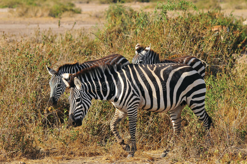 Zebras. At Amboseli National Park, formerly Maasai Amboseli Game Reserve, is in Kajiado District, Rift Valley Province in Kenya. The ecosystem that spreads royalty free stock photography