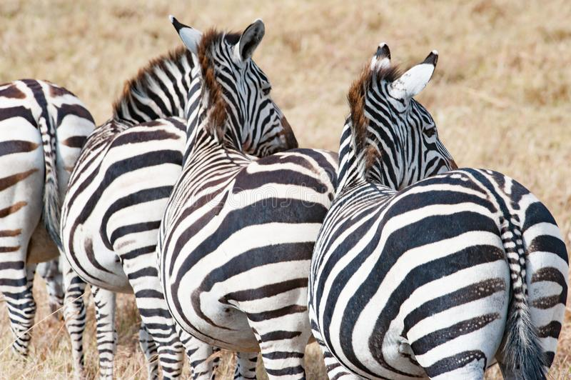 Zebras backside standing in line, Zebras in Serengeti, Tanzania stock photo