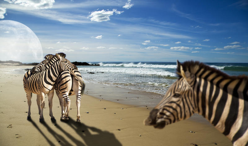 Zebras on the beach stock images
