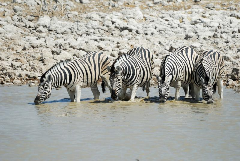 Zebras bebendo no parque nacional de Etosha, Namíbia fotografia de stock royalty free