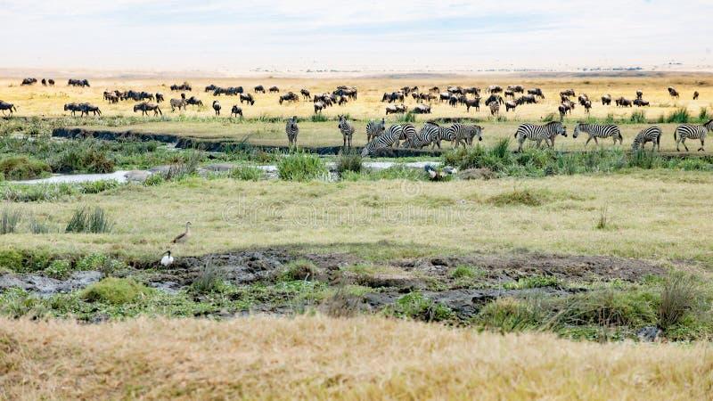 Zebras bebendo, pastando gnu, hipopótamos e pássaros na cratera de Ngorongoro fotografia de stock