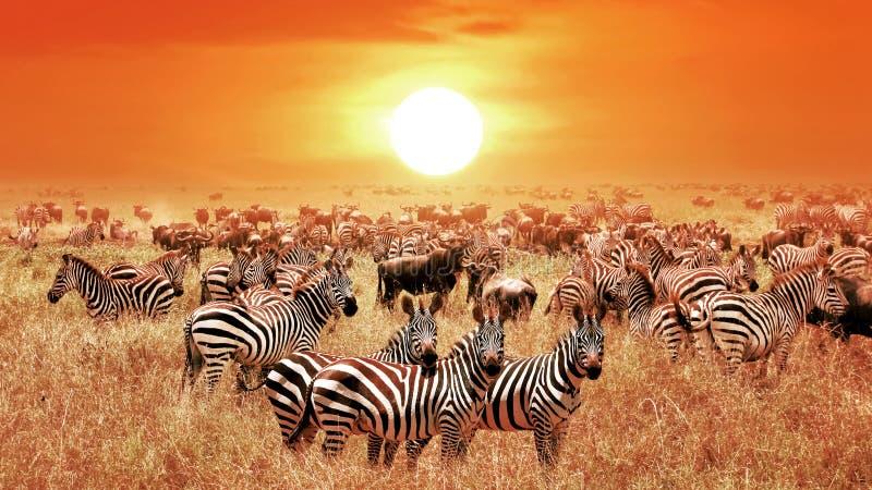 Zebras bei Sonnenuntergang im Nationalpark Serengeti afrika tanzania stockfotografie
