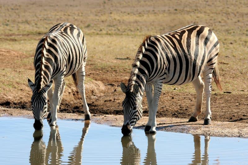 Zebras bij een Waterpoel stock afbeeldingen