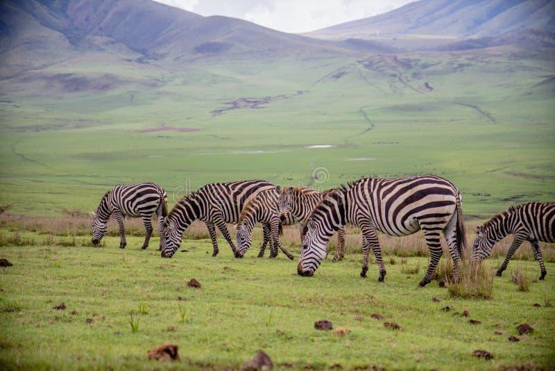 Zebras bij Ngorongoro-Krater Nationaal Park stock foto's