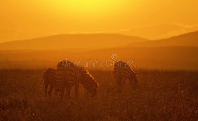Zebras bij sunriseat Masai Mara National Park stock fotografie