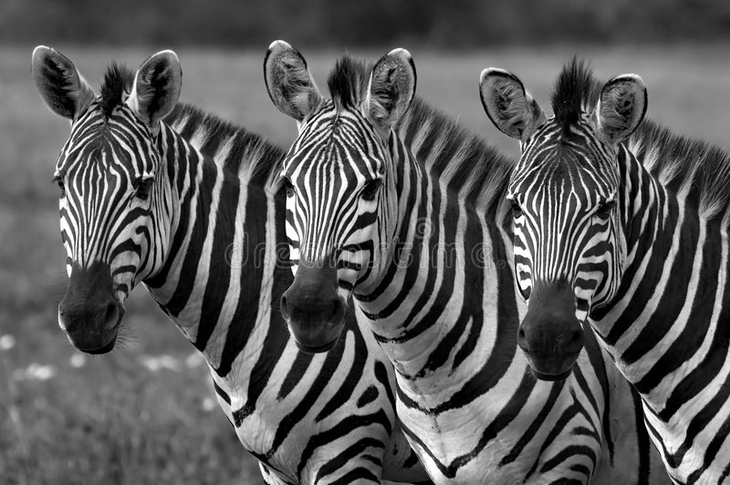 Zebras black and white. Black and white picture of three zebras in Masai Mara Kenya
