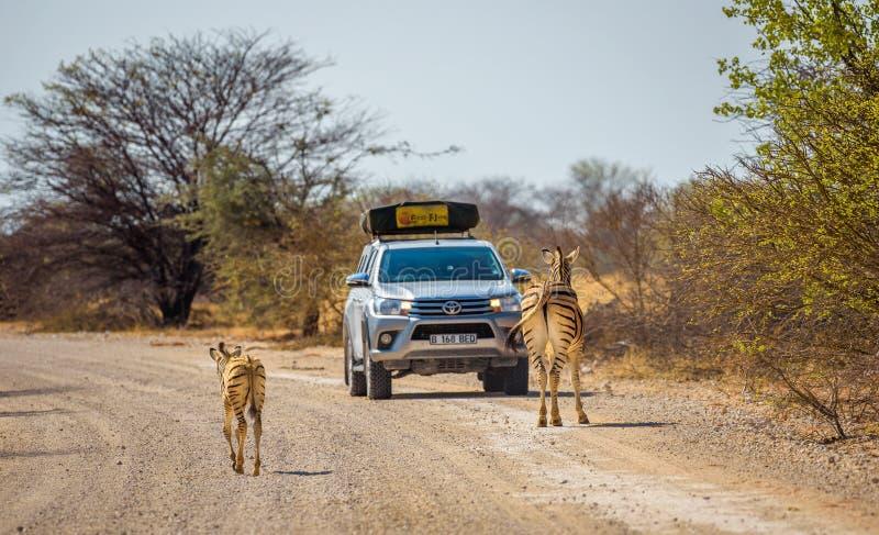 Zebras blockieren die Straße in Nationalpark Etosha lizenzfreie stockfotos