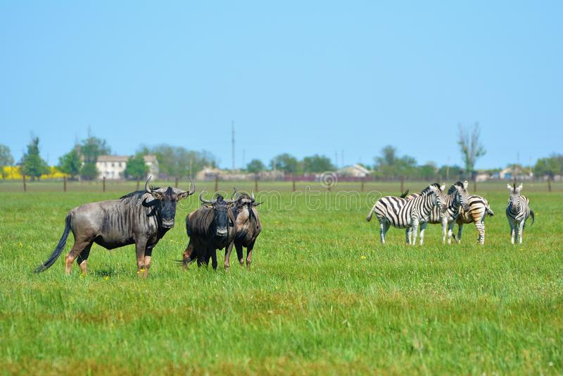 "Zebras and blue wildebeest in the steppe in the Falz-Fein Biosphere Reserve ""Askania Nova"", Ukraine. stock photography"