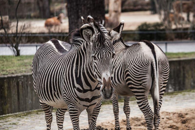 Zebras bonitas no jardim zoológico em Berlim foto de stock
