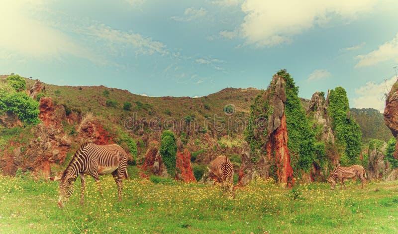 Zebras in Cabarceno stockfotos