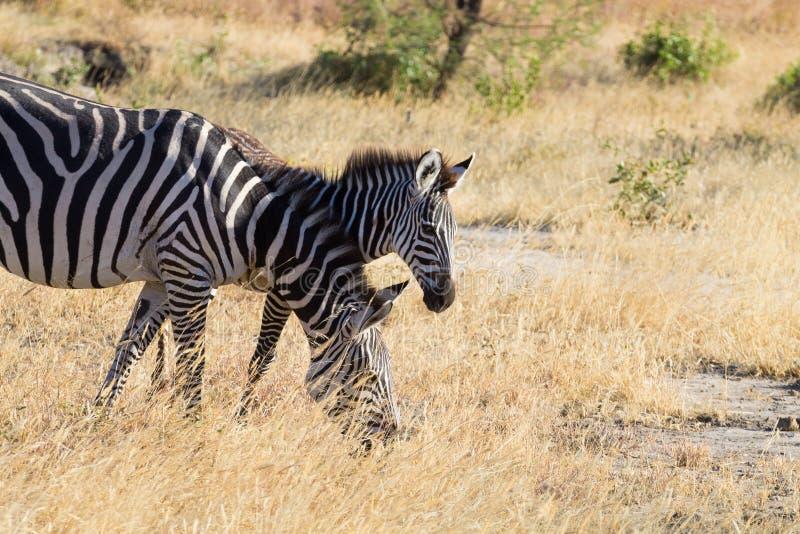 Zebras close up, Tarangire National Park, Tanzania royalty free stock photos