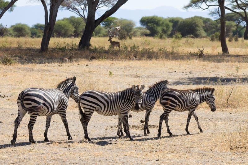 Zebras close up, Tarangire National Park, Tanzania stock images
