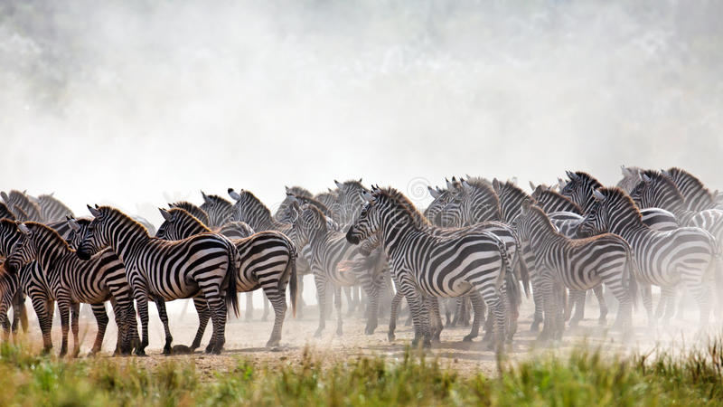 Download Zebras Are Collected In A Large Herd Stock Photo - Image: 15610938