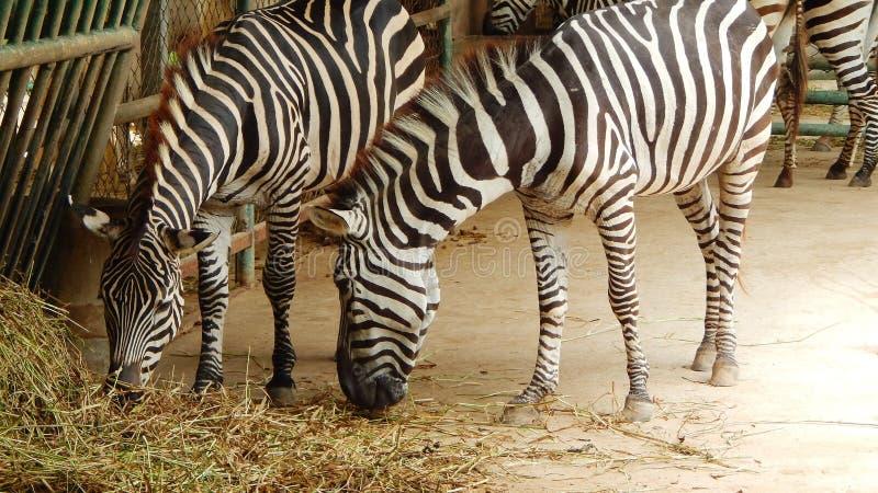 Zebras in de dierentuin royalty-vrije stock afbeeldingen