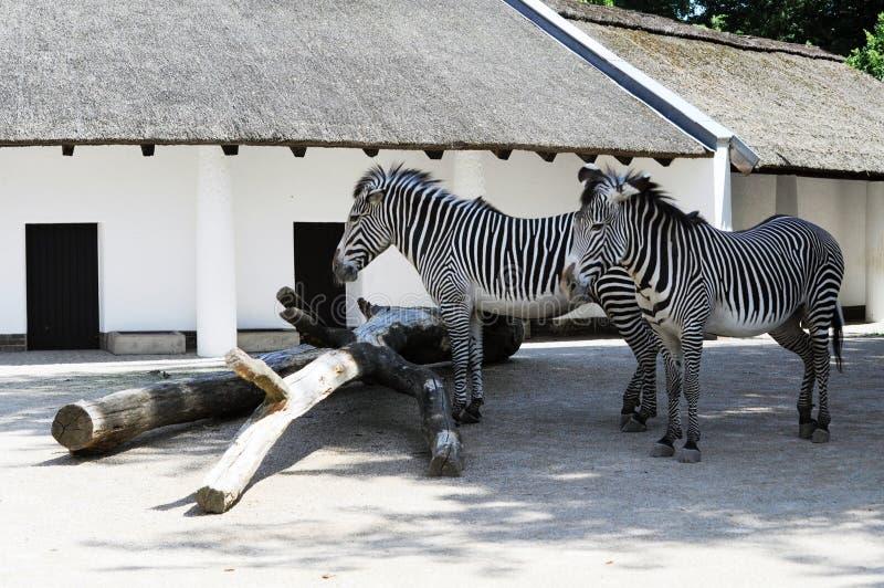 Zebras in de dierentuin van Berlijn stock foto's