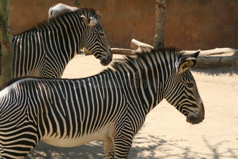 Zebras - de Dierentuin van Los Angeles royalty-vrije stock foto's