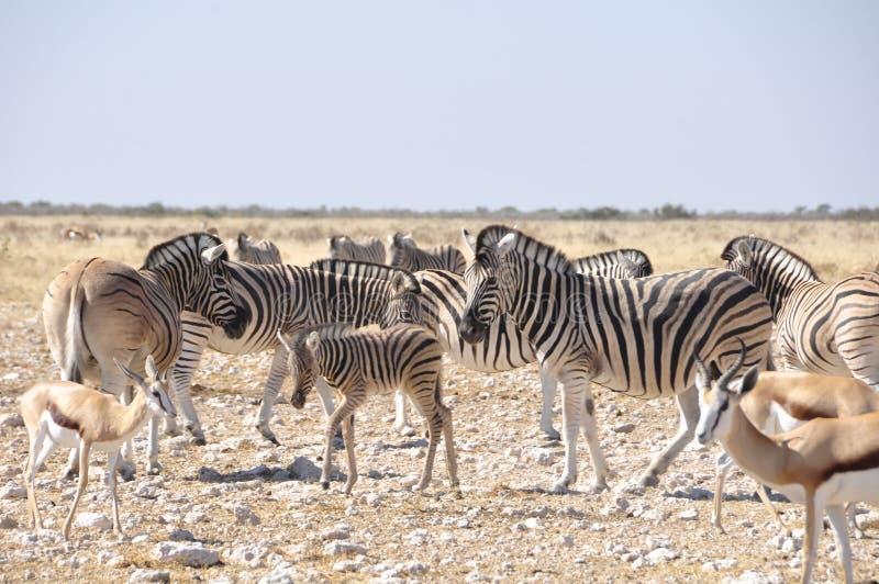 Zebras in de droge woestijn van Kalahari in het Nationale Park van Etosha stock foto's