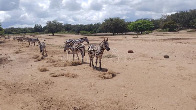 Zebras de Pondesora Guanacaste Costa Rica que tomam o sol fotografia de stock royalty free
