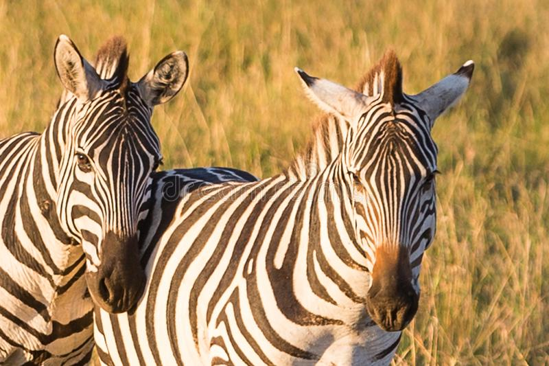 Zebras in de savanne stock fotografie