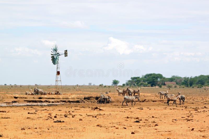 Zebras in de savanne van Park Tsavo stock afbeelding