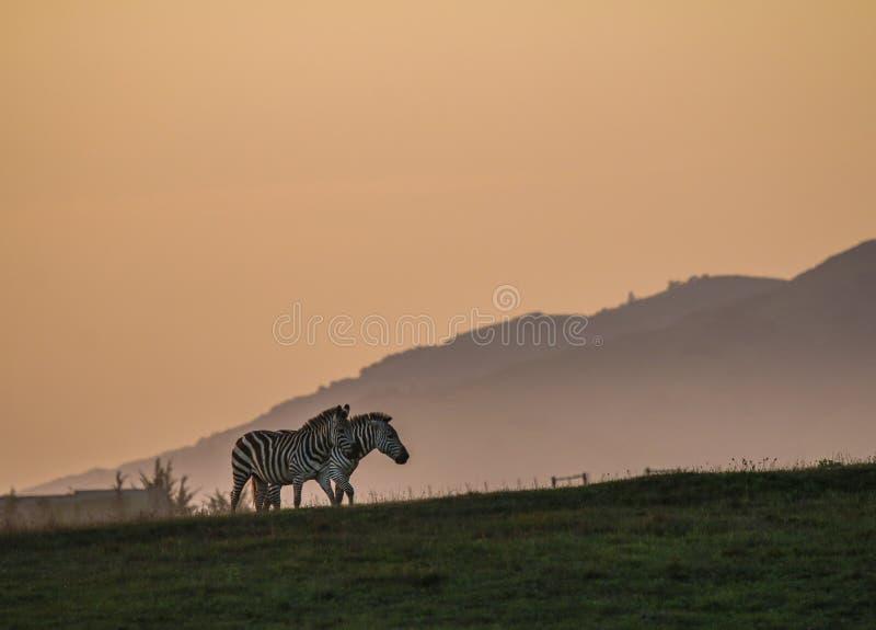 Zebras in de zonsondergang royalty-vrije stock fotografie