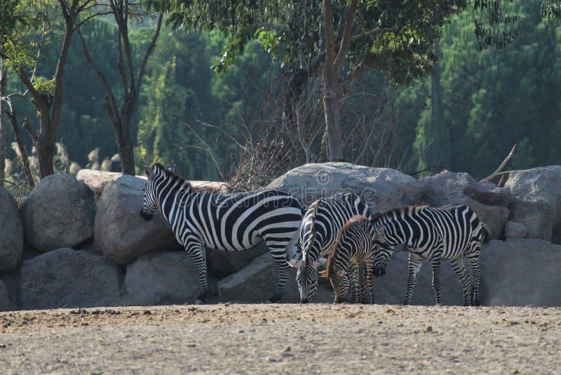 Zebras in der Savanne lizenzfreies stockbild