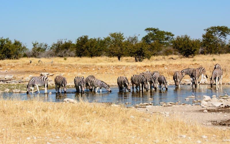Zebras, die an einem waterhole trinken stockfoto