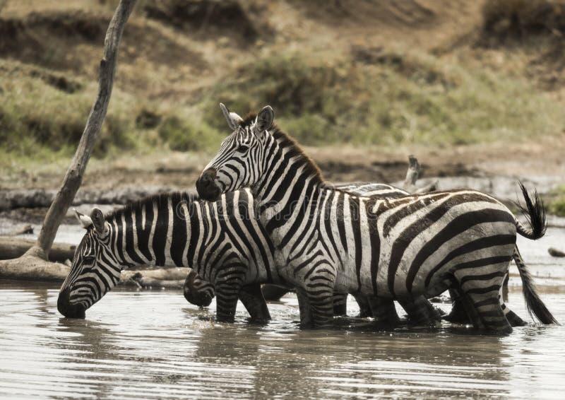 Zebras die en zich in een rivier, Serengeti, Tanzania bevinden drinken royalty-vrije stock afbeelding