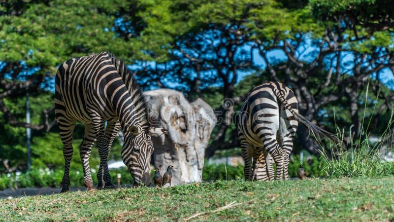 Zebras, die Gras essen stockbild