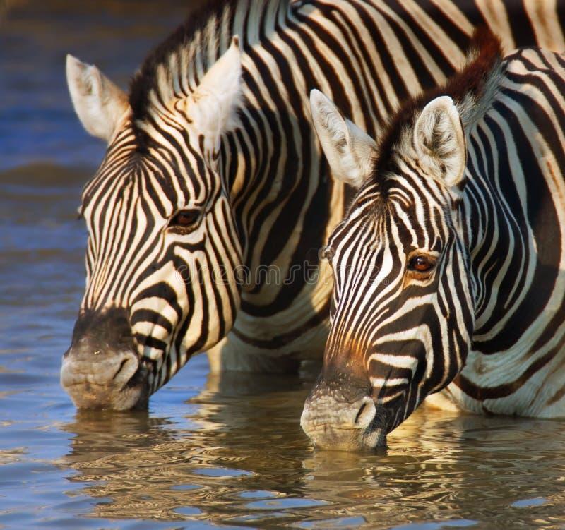 Zebras, die Nahaufnahme trinken stockbild