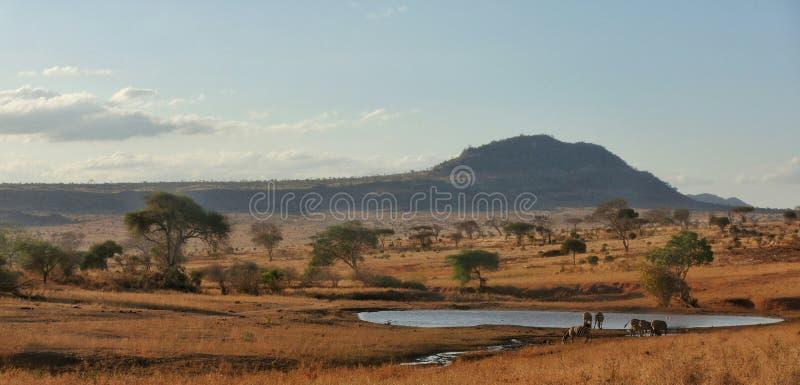 Zebras, die am Pool Tsavo West-NP Kenia Afrika trinken stockbild