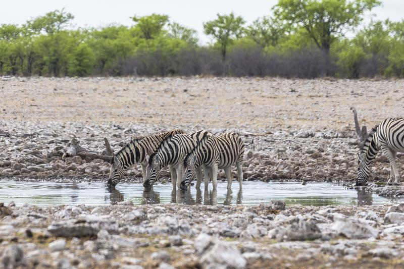Zebras, die vom waterhole in Etosha-Park trinken stockfotografie