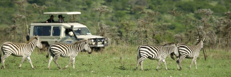 Zebras, die vor 4X4 überschreiten stockfoto