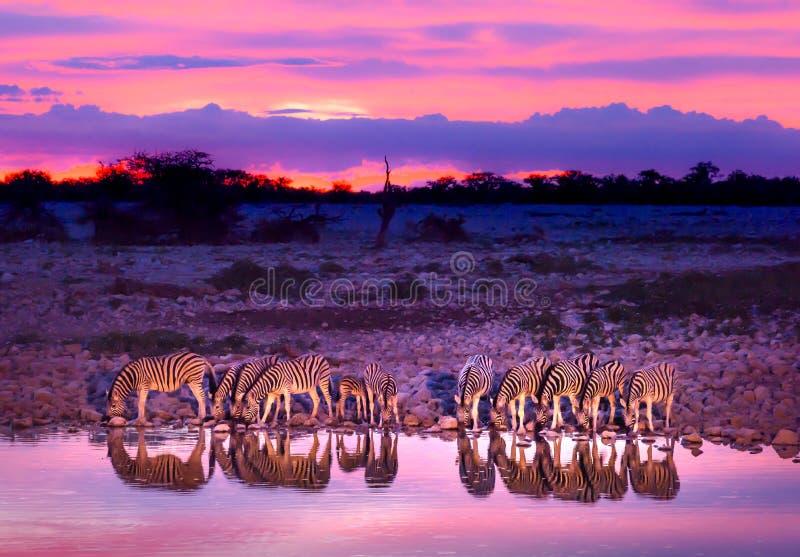 Zebras, die am waterhole trinken stockbilder
