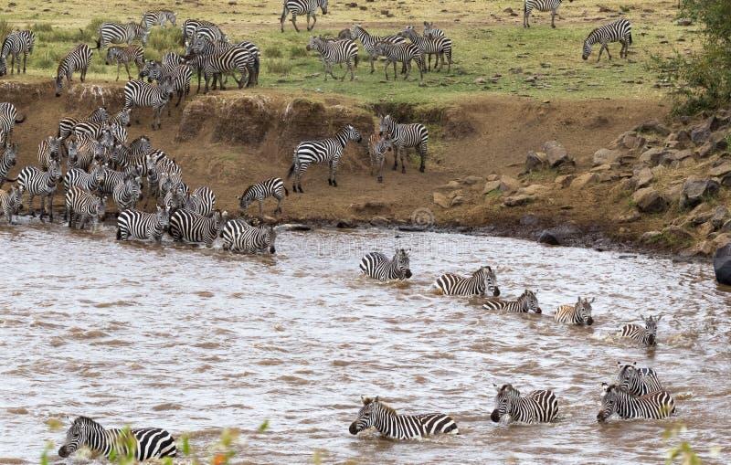 Zebras do Masai mara a Serengeti, África foto de stock
