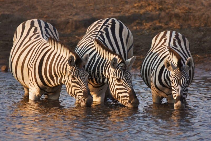 Zebras drinking. Three zebras drink at a waterhole in Etosha; Equus burchell's royalty free stock photography